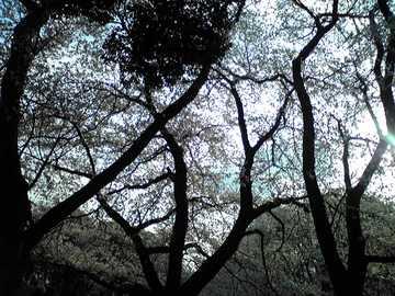 20080329sakura02.JPG