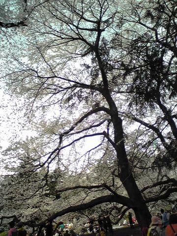 20080329sakura06.JPG