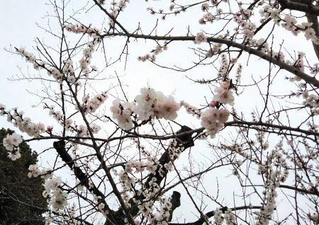 フライング桜