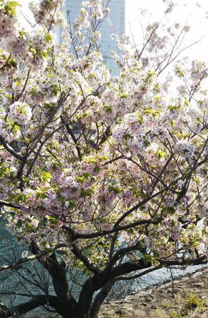 ぼんぼりみたいな桜