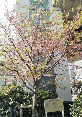 汽車ポッポの桜